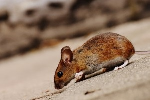 Mouse extermination, Pest Control in Banstead, Woodmansterne, SM7. Call Now 020 8166 9746